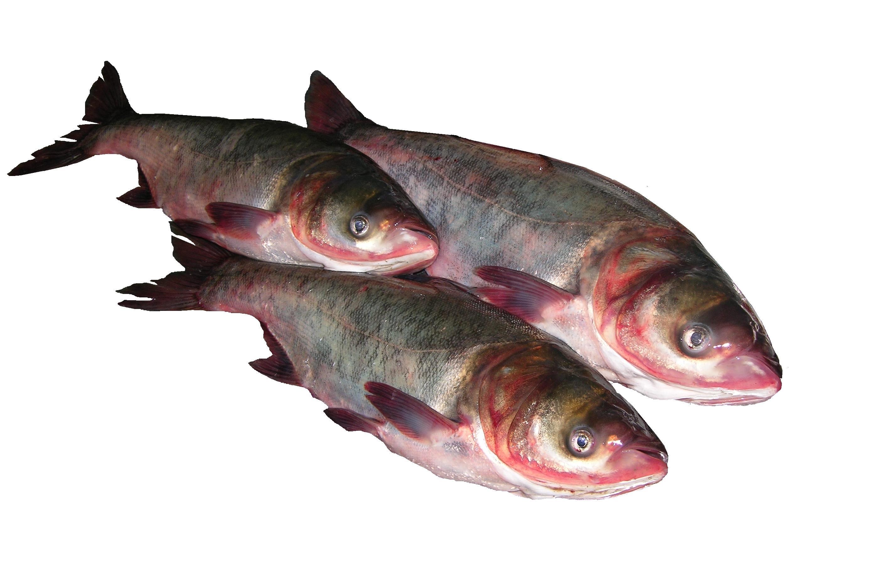 рыба толстолобик приготовить