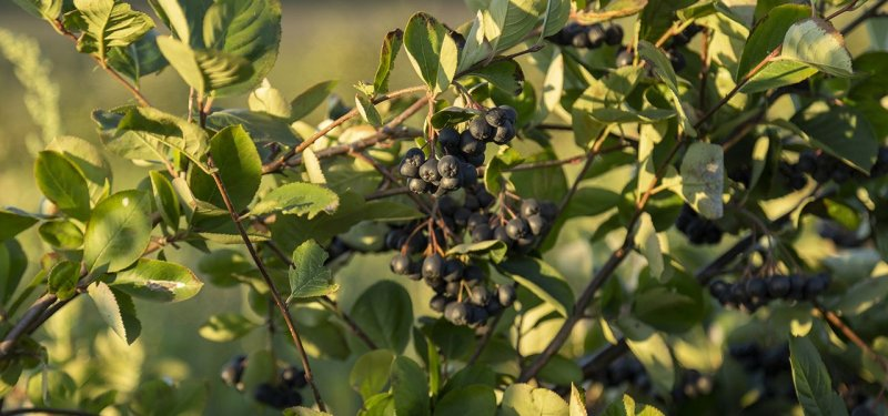 Chokeberry - a Miracle Fruit Cultivated by Aneta Ganenco