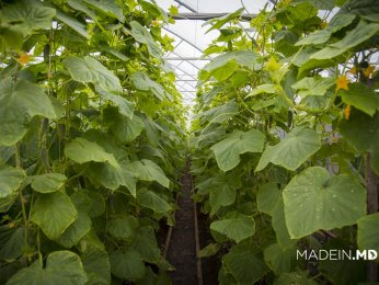 Greenhouse Cucumbers and Tomatoes Grown in Onitcani Village by Agromaxer Company