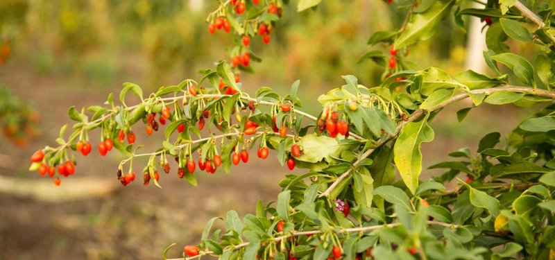 What are Goji Berries and why Should we Eat Them