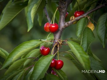 About 30 Varieties of Sweet Cherries Grown in the Beautiful Orchard near Negresti Village