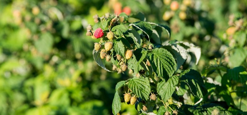 Polana Raspberries in Moldova - a Variety that Yields until Late Autumn