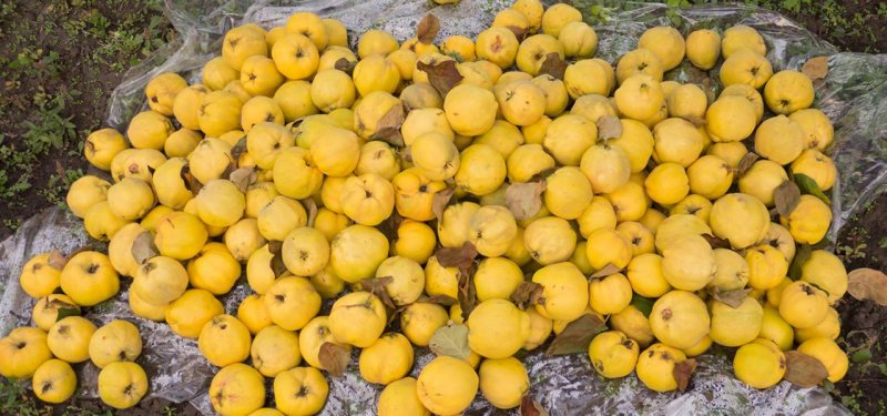 Drumul Fructelor 2017. The Last Trip this Year had Quince Aroma. PHOTO