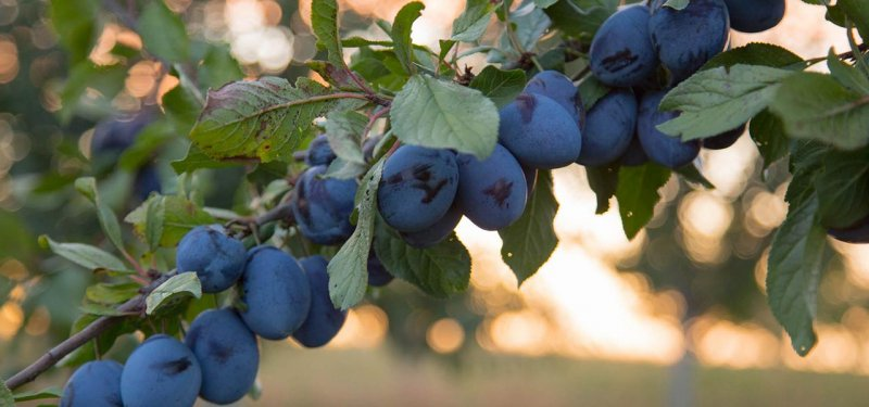 Drumul Fructelor. Eco Plums Grown in Moldova. A PHOTO