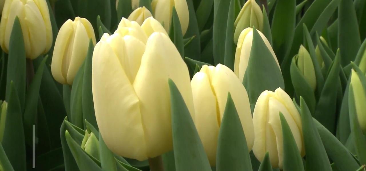 Flori De Primăvară Crescute In Satul Malcoci Din Ialoveni