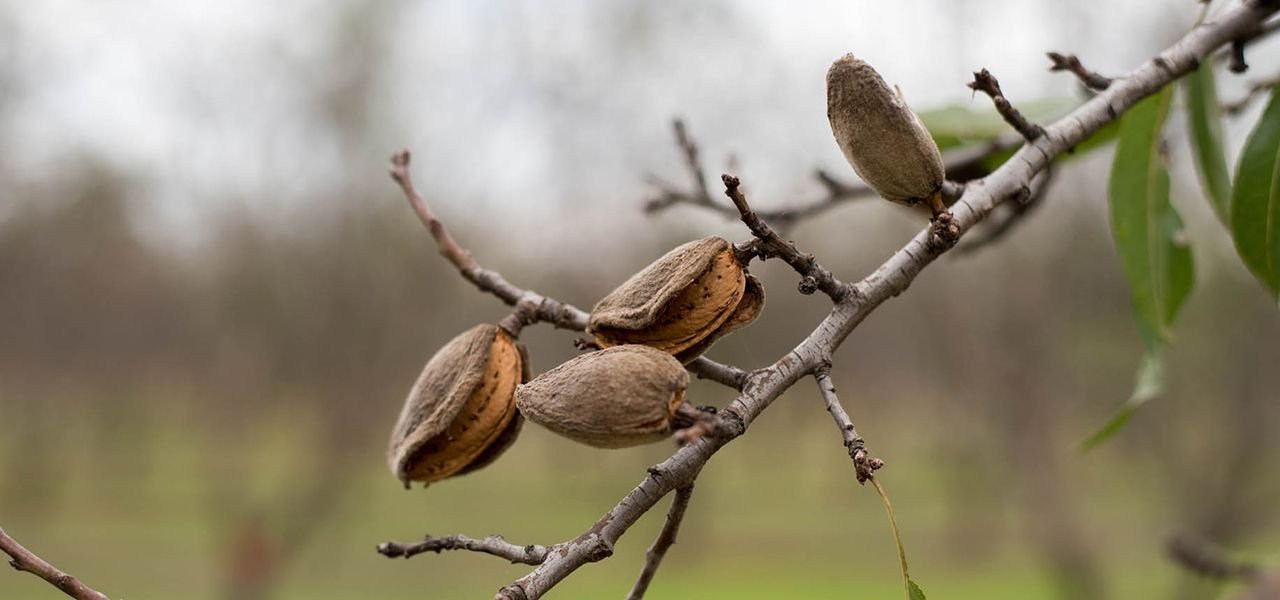 Almond Growing in Moldova. A Beautiful and Prosperous Family Business