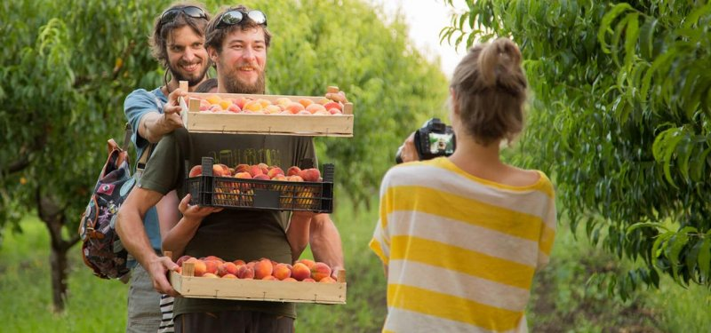 Sweet Fruits, Compote and a Sunny Atmosphere at the First Peaches Harvest in 2017. PHOTO