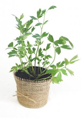 Potted lovage