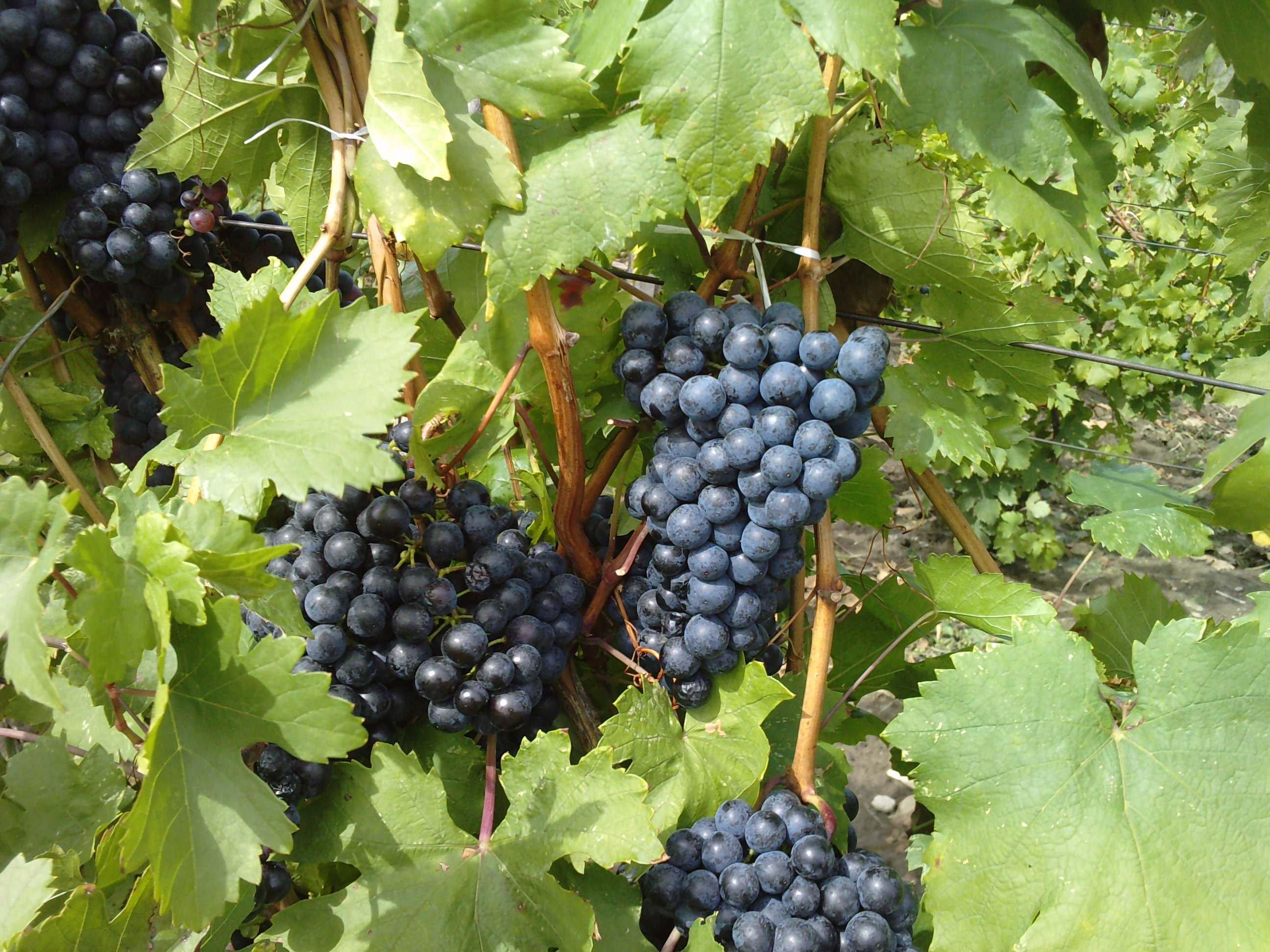 Moldova (grapes): description of the variety, characteristics, planting and care 41